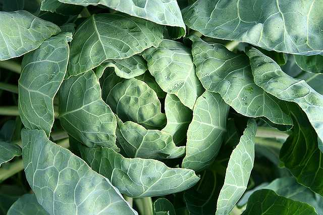 cabbage-1064621