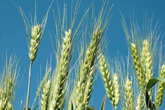 wheat-1235854