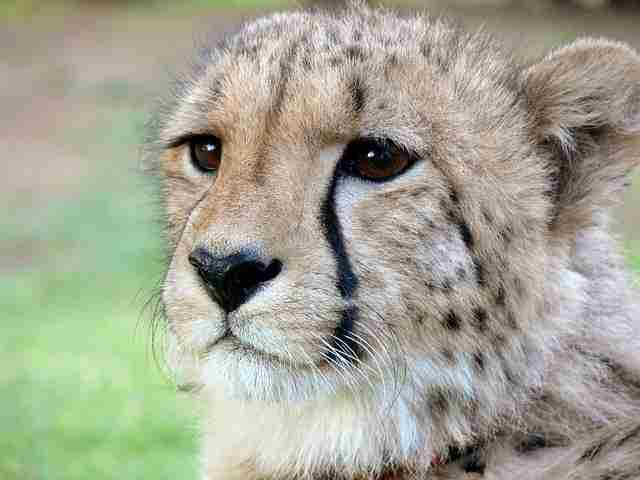 cheetah-275989